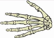 Wie Viele Finger Hat Ein Mensch
